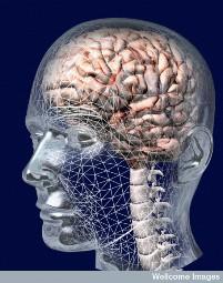 Illustration 3D cerveau humain - Source Wellcome Images
